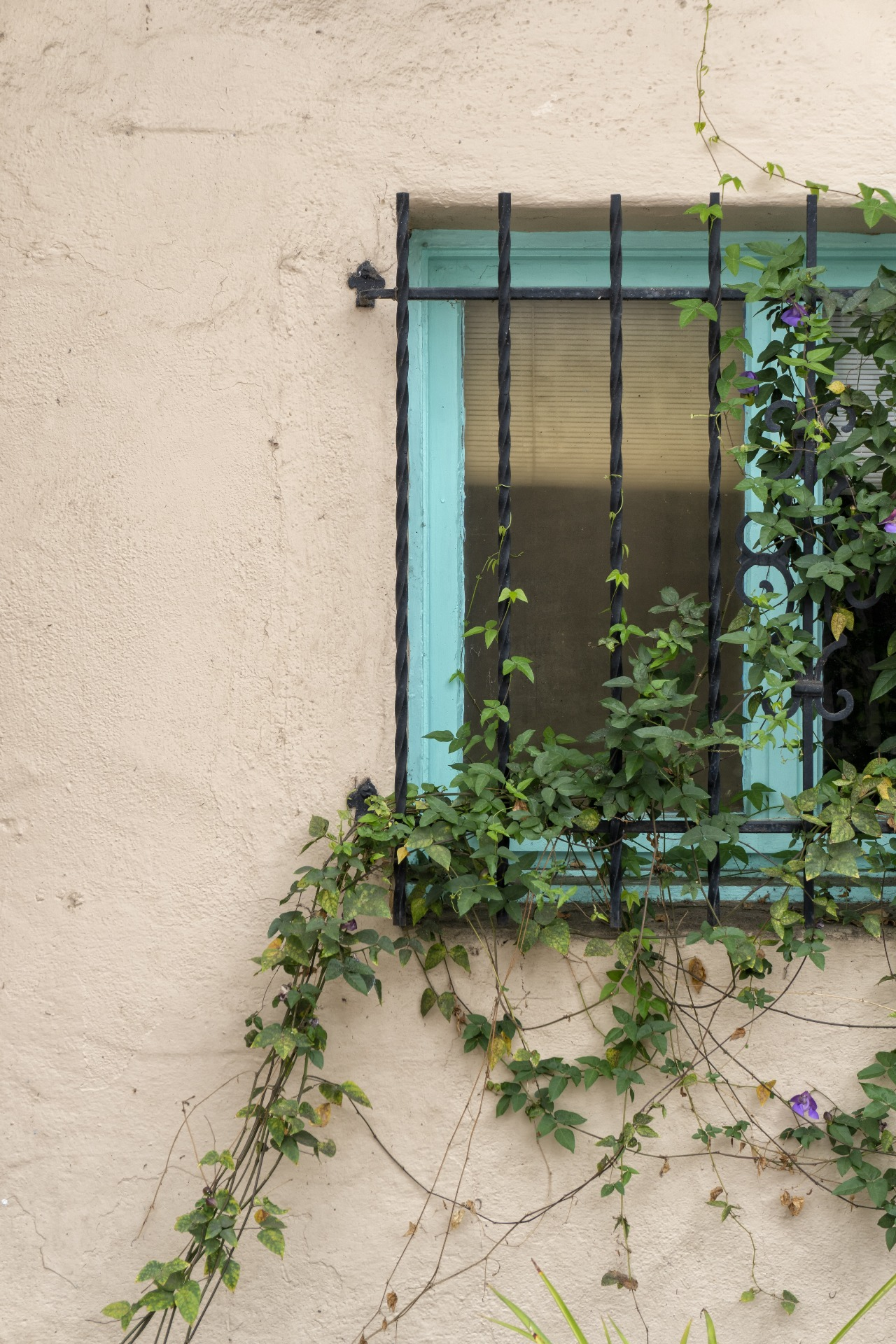 A window on a house, covered by black iron bars, with a green plant growing over the window and around the bars.