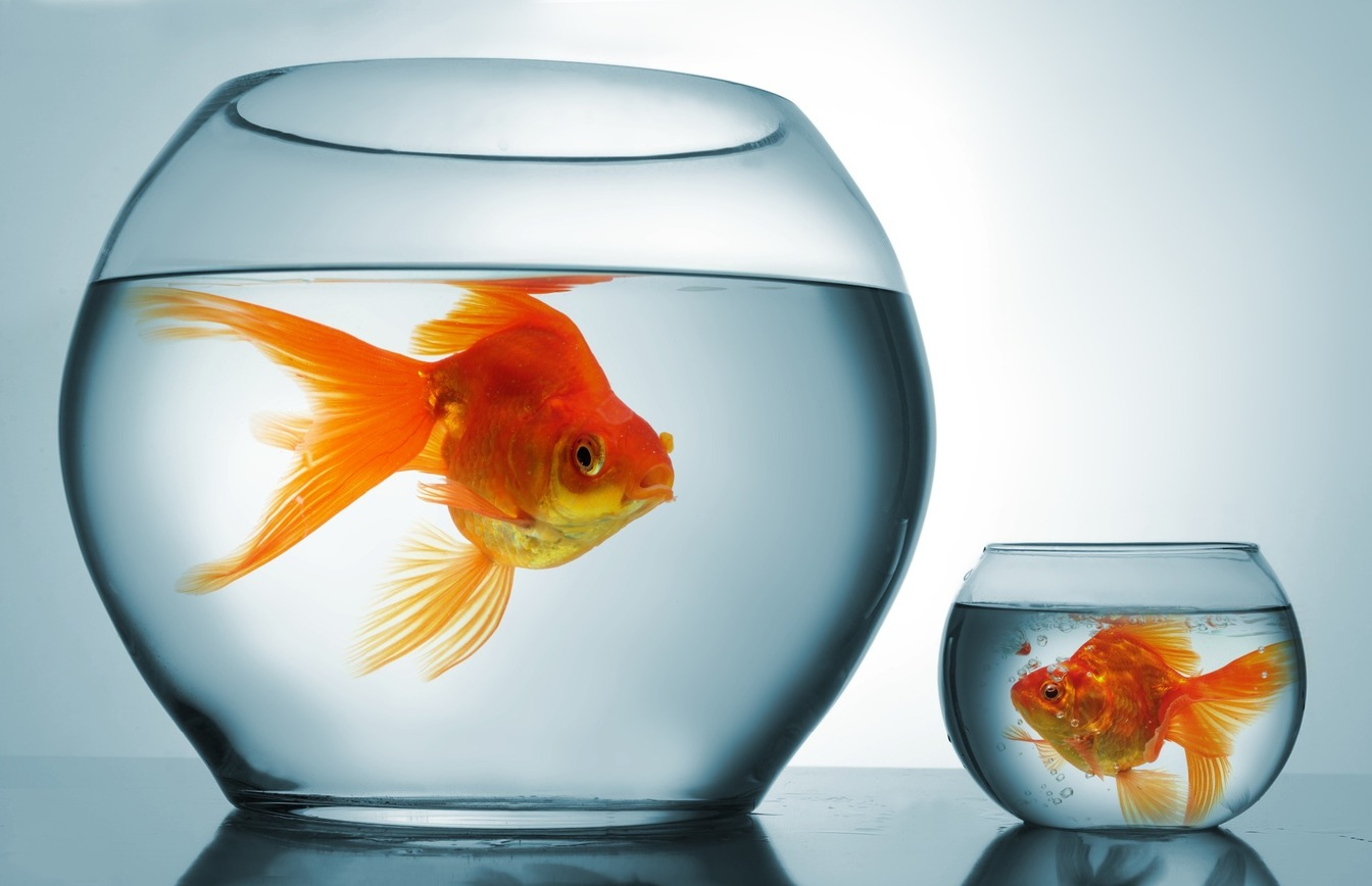 A gold fish in a big bowl, next to a similar sized-gold fish in a small bowl