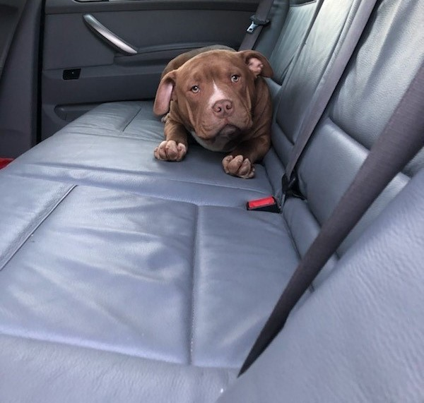 'Dave' the dog on the back seat of a car with leather, grey seats.